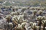 Cholla Cactus In Desert
