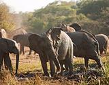 Elephant Herd In Mud Bath
