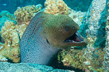 Giant moray eel showing defensive behaviour