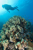 Scuba diver exploring a tropical coral reef