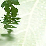 Green fig leaf reflecting in the water