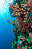 Stunning coral reef wall with divers