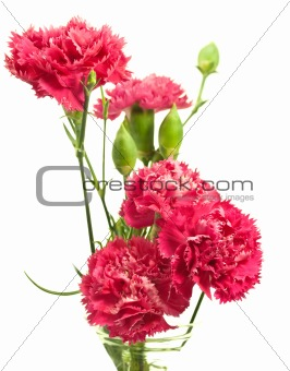 pink carnation array over white