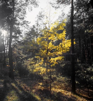 Autumn in the pine wood.