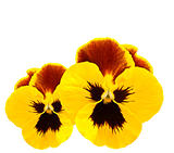yellow pansies winter pansy flower