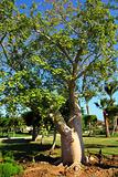 bottle trees adenium obesum socotra