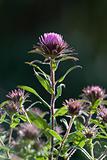 pink flower monarda
