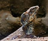 Bearded lizard