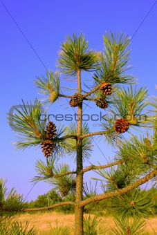 A small pine tree with cones