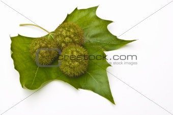 Three chestnuts on a leaf