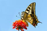 Butterfly on a red flowe