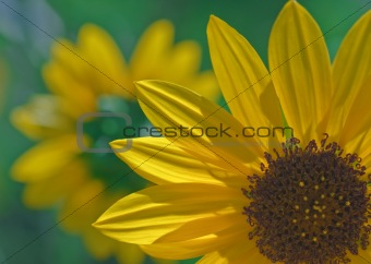 A sunflower macro with a smaller flower at backround