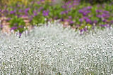 White decorative grass with colorful blurred backround