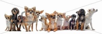 seven chihuahuas