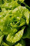 Salad bush.