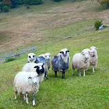 Sheep in mountain