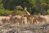 Giraffa camelopardalis peralta
