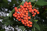 European Rowan (Sorbus aucuparia)