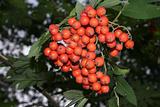 European Rowan (Sorbus aucuparia)