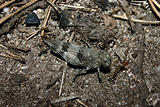 Blue-winged Grasshopper (Oedipoda caerulescens)