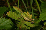 Common grasshopper (Chorthippus parallelus)