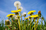 Dandelions and blue sky