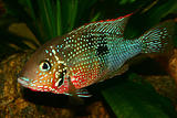 Mexican Fire Mouth (Thorichthys ellioti)