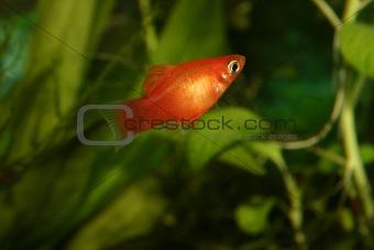 Marygold-Platy (Xipophorus maculatus)