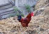Cockerel in rustic farm yard