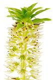 Eucomis flower