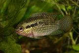 Red dots cichlid (Laetacara dorsigera)