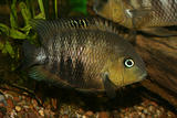 Blue Eyed Cichlid (Cryptoheros spilurus)