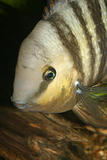 Blue Eyed Cichlid (Cryptoheros spilurus)