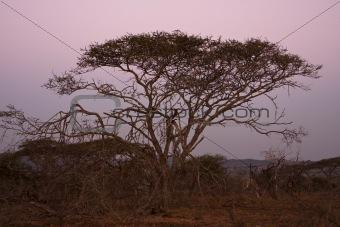 Acacia Tree At Dusk