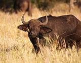 Cape Buffalo With Oxpecker