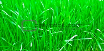 Green fresh young wheat close up