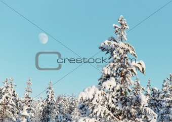 Pine in winter northern forest