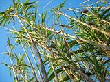 high reeds