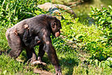 Female Chimpanzee walking with baby