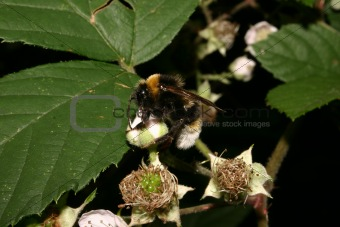 Large Earth Bumblebee (Bombus terrestris)