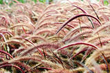 Bristle grass Herb