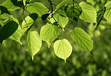 closeup of green leaves glowing in sunlight