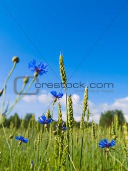 beautiful landscape of  field of wheat and cornflowers