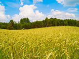 beautiful landscape of harvesting field of rye