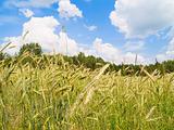 beautiful landscape of harvesting field of rye