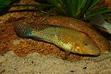 Redhead cichlid (Geophagus steindachneri)