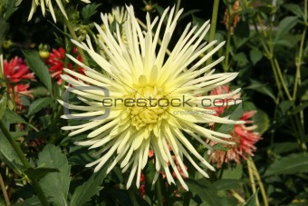 Dahlias bloom