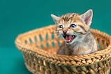Adorable kitty in basket