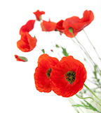 Natural Fresh Poppies isolated on white background / focus on th