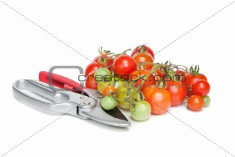 Tomatoes and Secateurs